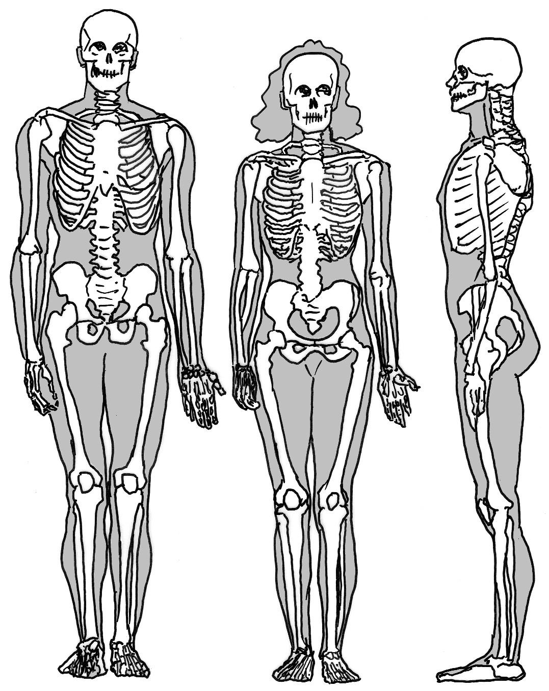 Nett Menschliches Skelett System Ideen - Physiologie Von ...