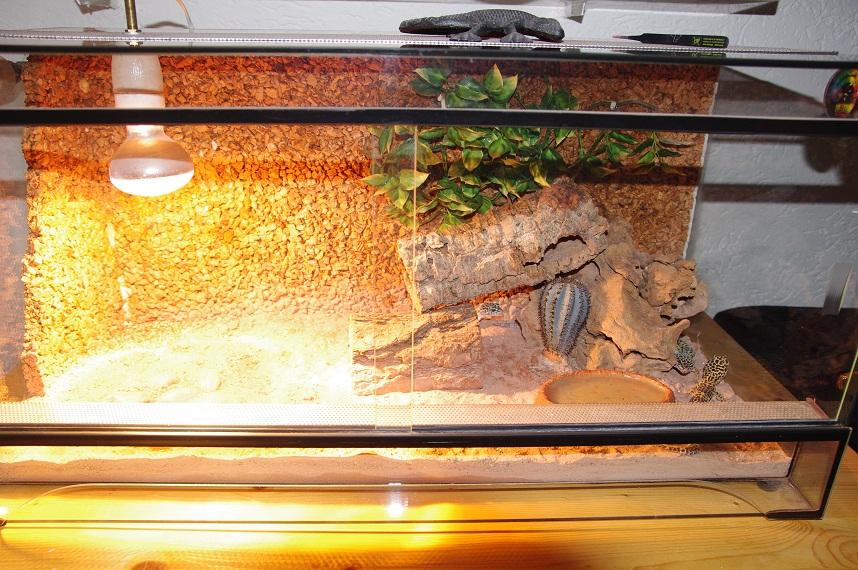 4 leo geckos inkl terrarium abzugeben 93057 regensburg. Black Bedroom Furniture Sets. Home Design Ideas